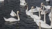 vários : Close up group of several beautiful white swans swim, float and row in water with waves and ripples, low angle view Stock Footage