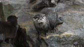 River otter scream and yawn on rocks