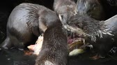 vários : Close up of several small hungry river otters eating chicken meat in zoo enclosure, high angle view
