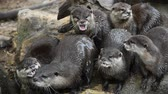 several : Several river otters run and scream on rocks Stock Footage