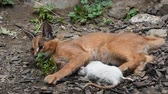 Close up view of one cute baby caracal kitten playing with food, dead white rat, imitating hunting and chasing prey, low angle