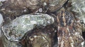 Close up group of several big fresh oysters in running clear water, elevated high angle view Stok Video