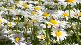 Close up white garden chamomile daisy (Matricaria) flowers shaking in the wind over green background, low angle view Vídeos