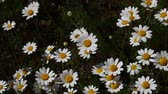 Close up wild white chamomile daisy (Matricaria) flowers shaking in the wind over dark green background, high angle view