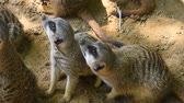 Close up group of two meerkats looking up alerted, elevated high angle view Vídeos