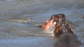 hipopótamo : Couple of hippos swim, dive and play in river water with splashes biting each other in animal mating games, sunny day, close up, high angle view