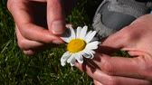 High angle view close up of young woman hands pick off and rip out petals of chamomile flower in French game called He loves me, he loves me not, sunny day