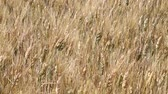 Close up wield of ripe mature wheat full ears spikes shaking in the wind, low angle view