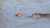 dişler : Couple of hippos swim in river water sunny day, close up, high angle view Stok Video