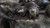 vários : Close up view of several small river otters running and screaming, looking and camera and away, in zoo enclosure, high angle view