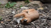 fingir : Close up view of one cute baby caracal kitten playing with food, dead white rat, imitating hunting and chasing prey, low angle