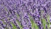 振る : Close up backgrounds of blooming purple lavender flowers field, shaking in the wind, low angle view