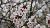 baixo ângulo : Close up branch of apricot tree blossom low angle view 4K Stock Footage