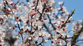 Close up branch of apricot tree blossom over clear blue sky low angle view slow motion