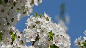 Close up white cherry tree blossom over clear blue sky low angle view slow motion