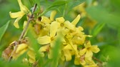 several : Close up yellow flowers of Forsythia Easter tree with green leaves low angle view