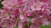 Close up pink Asian wild crabapple tree blossom with green leaves low angle view slow motion 무비클립