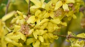 Close up yellow flowers of Forsythia Easter tree low angle view