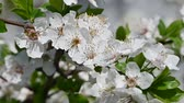 Close up white cherry tree blossom with green leaves low angle view slow motion