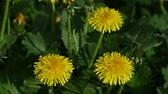 Extreme close up several yellow dandelion flowers over green grass background high angle view 무비클립