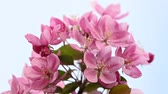 malus : Close up pink Asian wild crabapple tree blossom with green leaves over clear blue sky with copy space low angle view slow motion Stock Footage
