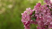 malus : Close up pink Asian wild crabapple tree blossom with leaves over green background with copy space low angle view slow motion