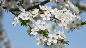 cópia espaço : Close up white cherry tree blossom over clear blue sky, low angle view, slow motion