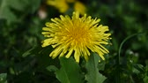 virágágyásba : Extreme close up one yellow dandelion flower head over green grass background, low angle view Stock mozgókép