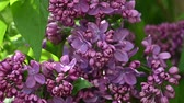 syringa : Close up purple lilac flowers with fresh spring green leaves, low angle view