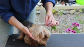 View of the head of Yorkshire terrier, who is combing by the groomer woman. The dog has eyes closed cute. Stock Footage