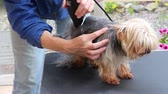 Shortening the hair of the  yorkshire terrier by electric razor. All potential trademarks are removed.