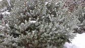 serin : Close up view of snowfall at a small pine tree.