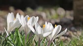 White crocus closeup with camera move.