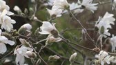 Flowering white Star Magnolia (Magnolia stellata) closeup. Stock Footage