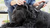 Initiation of grooming of the Giant Black Schnauzer dog.