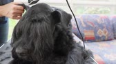 Front view of grooming the head of the Giant Black Schnauzer dog by electric razor closeup.