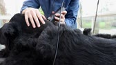 borotva : Side view of grooming the Giant Black Schnauzer dog. The dog is lying on the table and the camera is moving along a dog.
