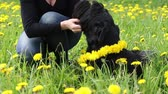 The woman is giving a dandelion wreath to the neck of a Giant Black Schnauzer dog lying at the blooming dandelion meadow.