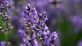 Closeup view of the lavender flower in the wind. Stock Footage