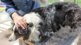 Combing  of the Border Collie standing on the grooming table. Stock Footage