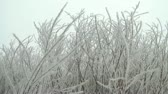 транс : Unique small white trees littered in frost swaying back and forth from a slight breeze in late winter.