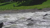Whitewater rapids in summer with fisherman on riverbank. Stock Footage