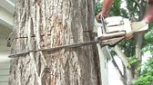 cut off : Chainsaw is cutting into tree with sawdust emitting from cut area before worker pauses, suspending saw in hand, in morning sun. Stock Footage