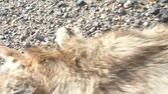 işlenmiş : Dead coyote on roadside with maggots emitting from mouth as camera pulls away from animal in clip.