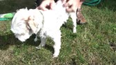 xampu : Small white dog gets a wash outside in bright sunlight from owner with shampoo and hose water. Stock Footage