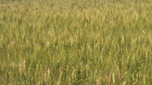 душа : Green and gold wheat gendly sway in the breeze while the summer sunlight is brightly illuminating entire field.