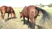 horse face : Clip of horses in pasture eating grass panned initially from right to left and then back to right, in sunlight. Stock Footage