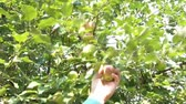 crab apple : Hand is picking a green apple off of tree, and then arm angles fruit towards camera at end of clip. Stock Footage