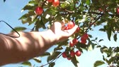 crab apple : Hand picks red apple from tree and brings it back towards camera at end, shot in sunlight with blue sky as background. Stock Footage