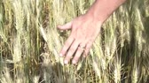Person runs hand slowly across golden wheat in bright sunshine.